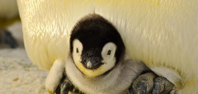 اسم صغير البطريق