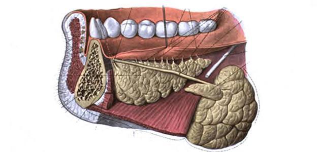 ما هي غدد القناة الهضمية
