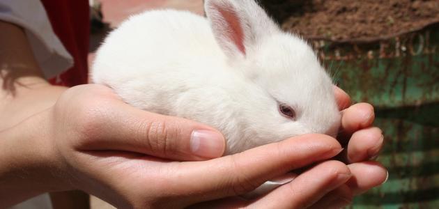 كيفية رعاية صغار الأرانب