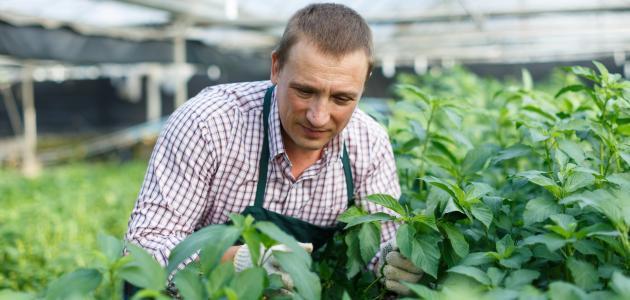 كيف تزرع الملوخية