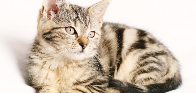 تحليل داء القطط للحامل