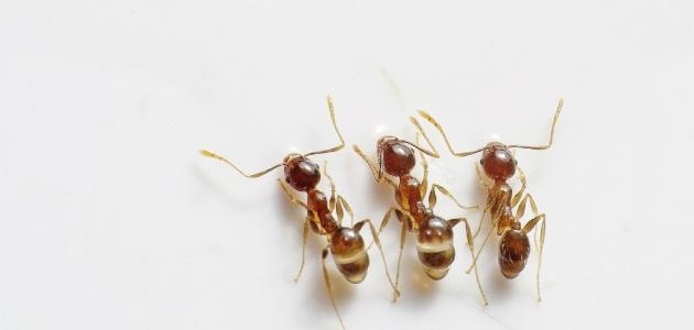 طريقة مكافحة النمل في البيت