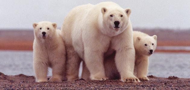 أين تعيش الدببة القطبية