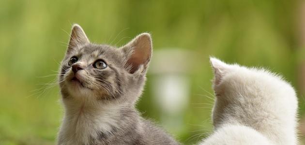 كم تعيش القطط
