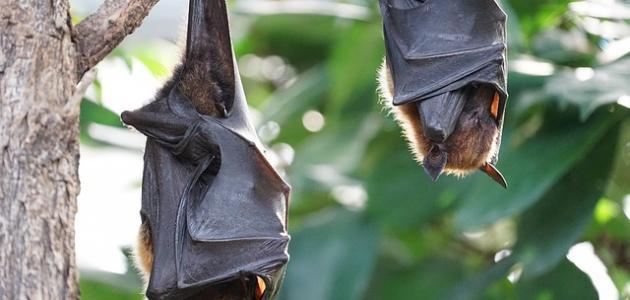 أين تعيش الخفافيش