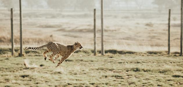 كم سرعة الفهد