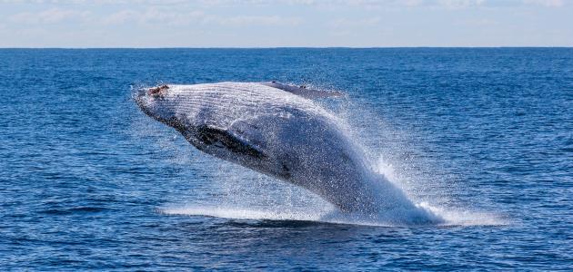 أين يعيش الحوت الأزرق