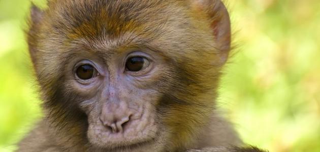 كم سنة يعيش القرد
