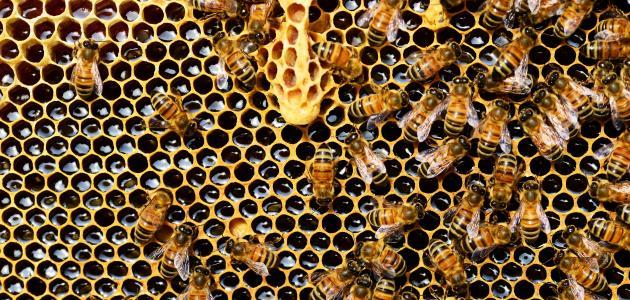 بحث عن حياة النحل