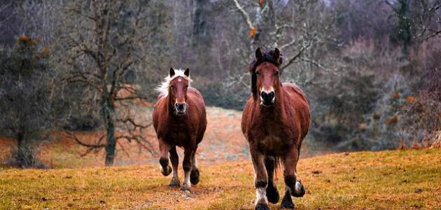 كم سرعة الحصان