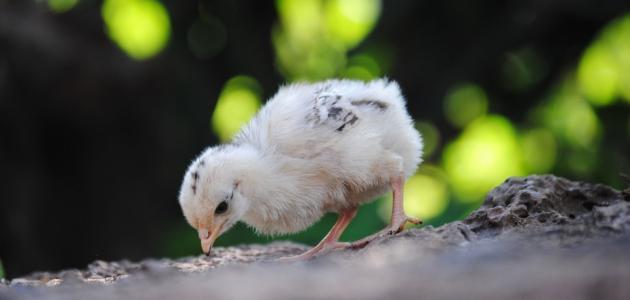 اسم صغير الدجاج