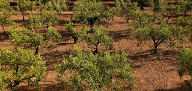 كم تعيش شجرة الزيتون