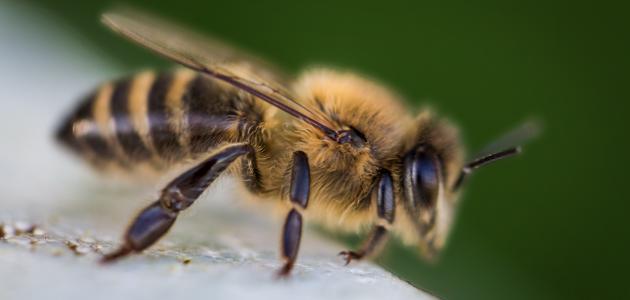 التخلص من النحل في المنزل