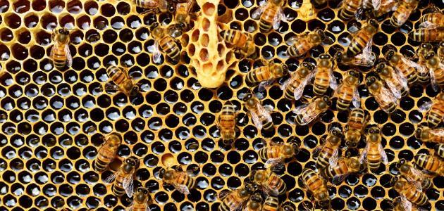 أين يعيش النحل