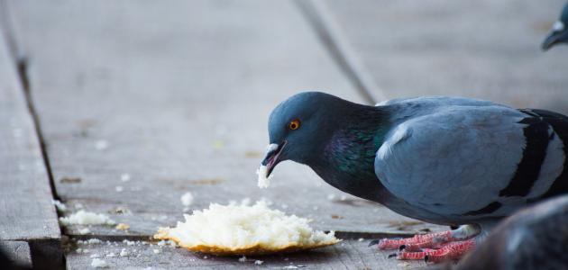 ما حكم تربية الطيور