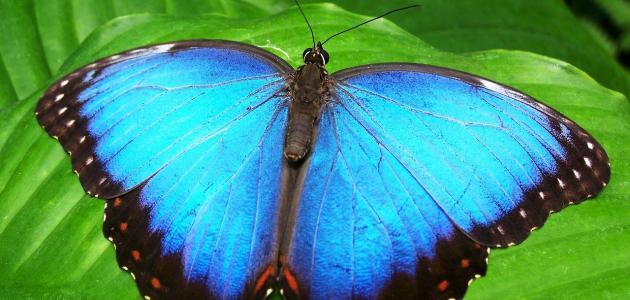 كم تعيش الفراشة