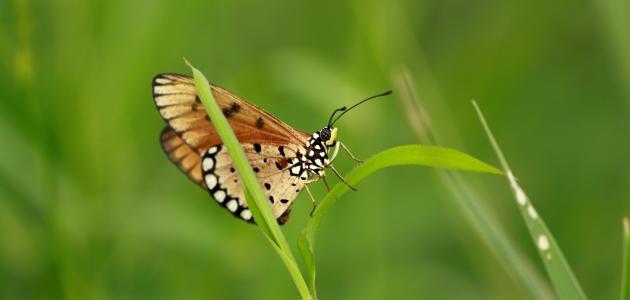 اسم ذكر الفراشة