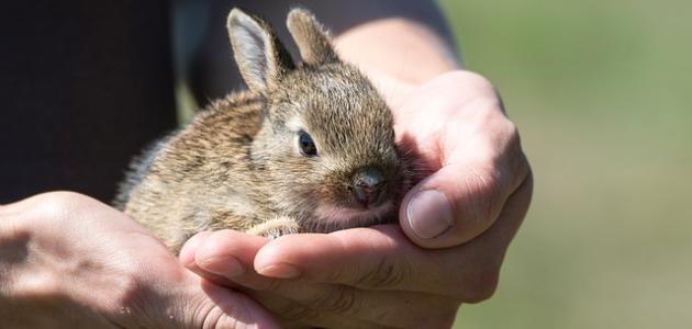 تربية الأرانب في البيت