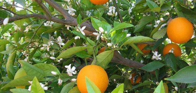 مكونات زهرة البرتقال