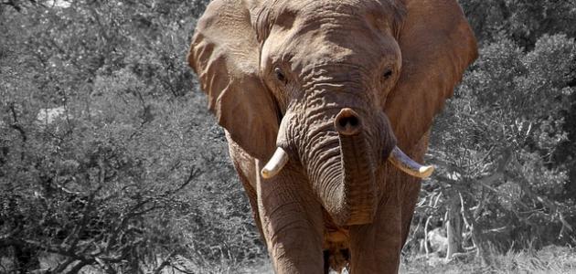 من أين يتنفس الفيل