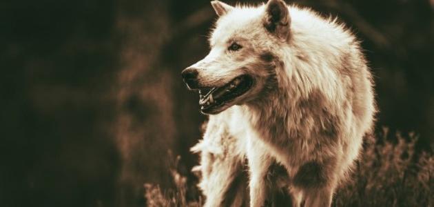 أين يعيش الذئب
