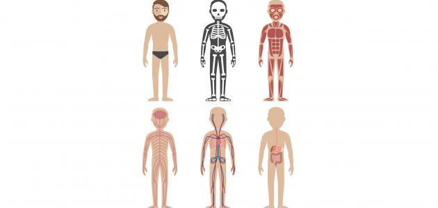 أسماء أعضاء الجسم