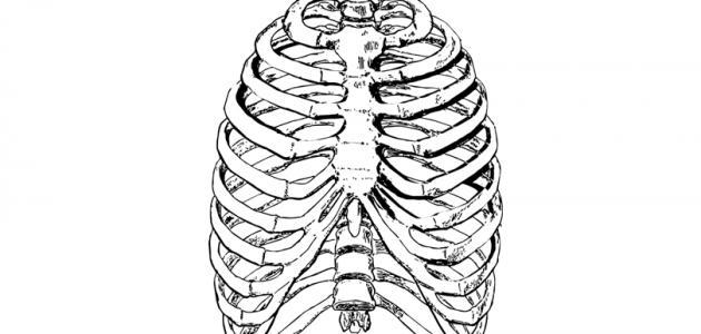 أضلاع القفص الصدري