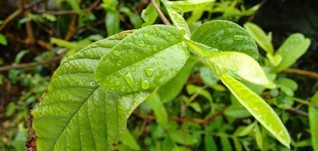 فوائد أوراق الجوافة للشعر
