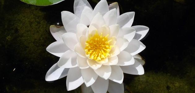 أجمل زهرة بالعالم