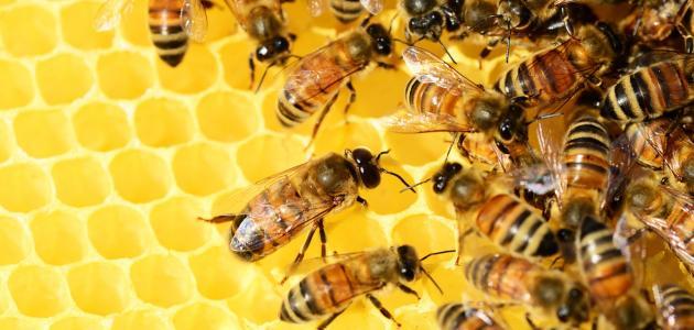 بحث عن تربية النحل