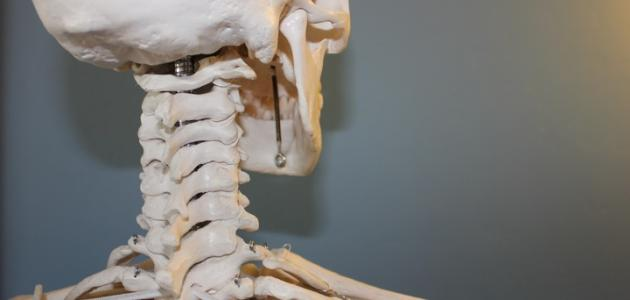 كم عظم يوجد في جسم الإنسان