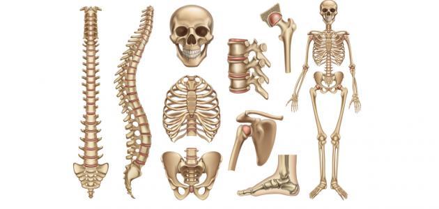 كم عظمة في جسم الإنسان