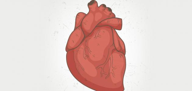كم عدد صمامات قلب الإنسان