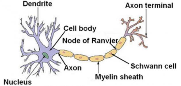 أجزاء الخلية العصبية