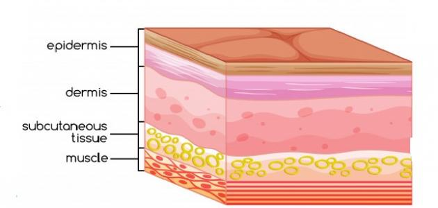 أجزاء الجلد