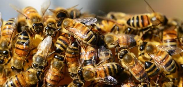 بحث عن كيفية تربية النحل