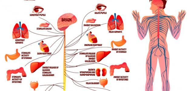 مكونات الجهاز العصبي الطرفي