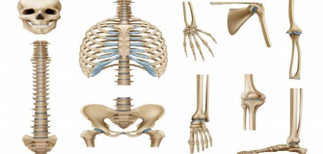 كم عظم في جسم الإنسان