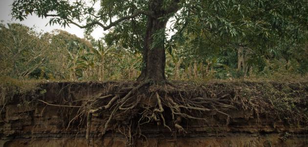 أجزاء الشجرة