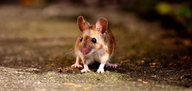 كيفية التخلص من فئران المنزل