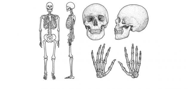 كم عظمة توجد في جسم الإنسان
