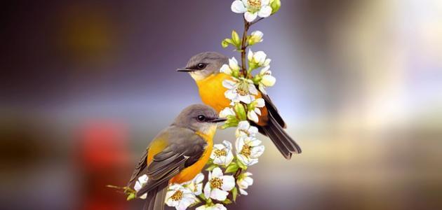 كم بيضة تبيض طيور الحب