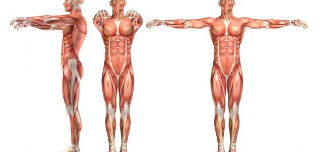 أجزاء الجهاز العضلي