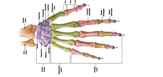كم عظمة توجد في كف اليد