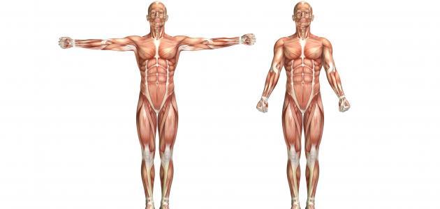 كم عضلة في الجسم