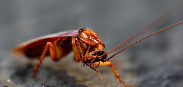 كيفية طرد الصراصير من البيت