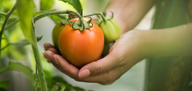 مراحل نمو الطماطم