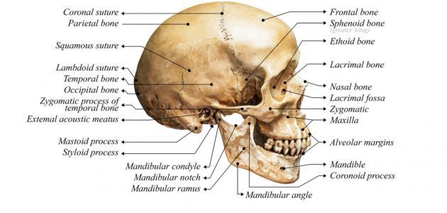كم عظمة في جمجمة الإنسان
