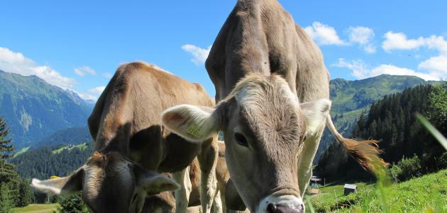 تربية الأبقار