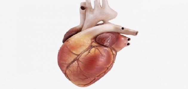 كم عضلة في القلب